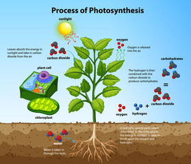 Wall Murals Kids Diagram showing process of photosynthesis with plant and cells