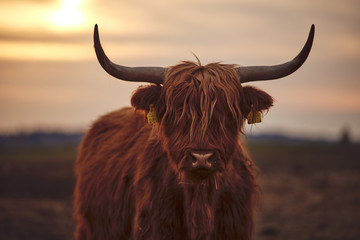 Papiers peints Vache Young Scottish Highland Beef Cattle closeup