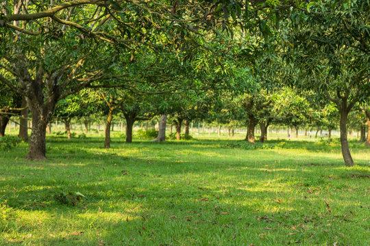 Very big Mango Garden in Bangladesh