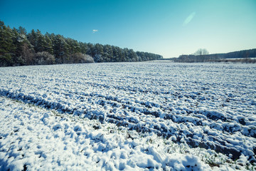 Arable field with winter wheat сovered with first snow
