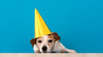 Obedient dappled Jack Russell Terrier dog in gold party hat and ears decorated looking at camera with interest while lying on floor
