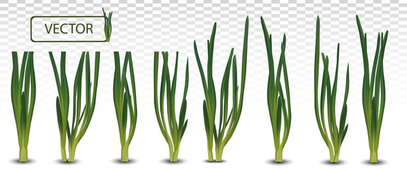 3d realistic green onion isolated on transparent background. Fresh green onion close up. Collection green onion. Top view. Organic. Vector illustration Wall mural