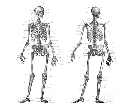 Human skeleton anatomy front and back view / Old Antique illustration from Brockhaus Konversations-Lexikon 1908