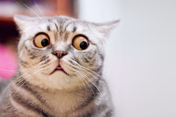 Photo sur Plexiglas Chat Skeptic surprised cat thinking & dont know what to do, big eyes closeup. Tabby cat look side dont know, funny face. Cute tabby cat looking scared, thinking. Wide eyed kitten dont know why, portrait