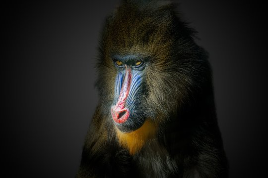 Portrait of male mandrill monkey on black background.