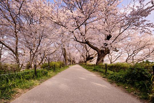 桜のトンネルを行く