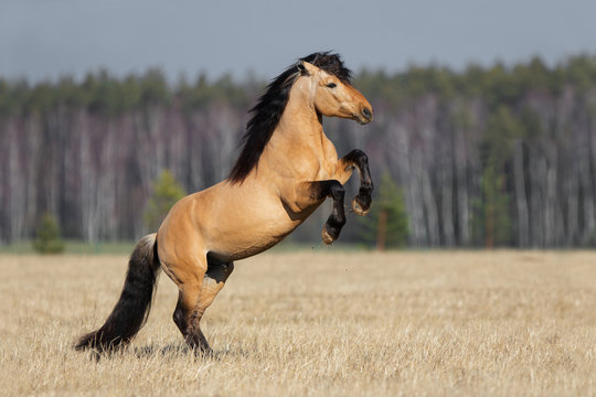 Beautiful buckskin rearing horse with long mane on natural prairie summer background