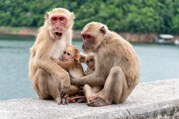 Foto op Canvas Aap Monkey parents, monkey mothers and baby monkeys live together as a family.