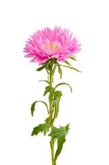 Keuken foto achterwand Dahlia aster flower isolated