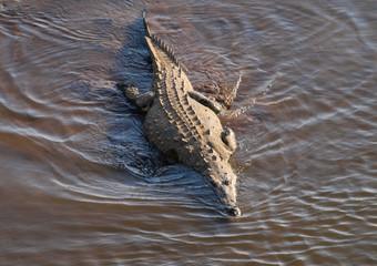 Printed roller blinds Crocodile Krokodil schwimmt im Wasser des Flusses Tárcoles in Costa Rica