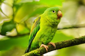 Orange-chinned parakeet (Brotogeris jugularis) sitting in a tree Fotomurales