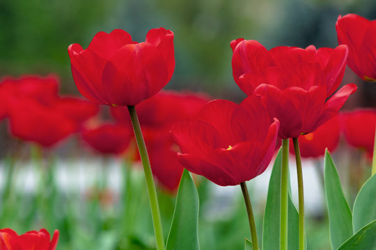 bunch of red tulip blooming in the garden. beautiful nature background in spring