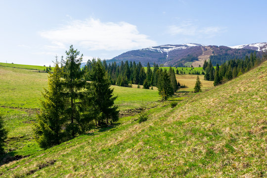 valley of borzhava mountain range in springtime. small brook among spruce trees on the green grassy meadow. wonderful countryside on a sunny day. snow on the summits
