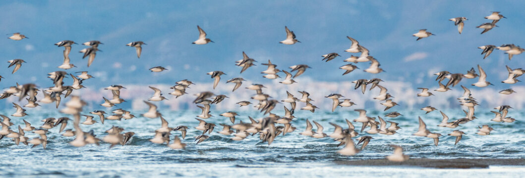 A flock of dunlins (Calidris alpina)