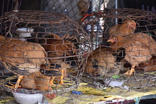 Caged Chickens in Wet Market, Hoi An, Vietnam