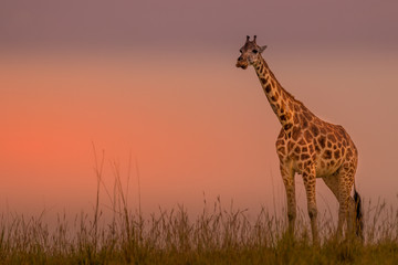Rothschild's giraffe ( Giraffa camelopardalis rothschildi) in a beautiful light at sunset, Murchison Falls National Park, Uganda.
