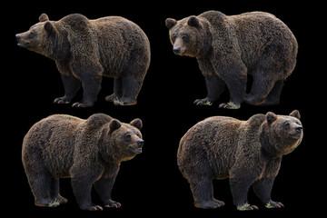 portrait, carnivore, wildlife, predator, grizzly, black, adult, animal, bear, big, brown, classic, clip art, creature, cute, decoration, design, earth, fauna, figure, forest, freedom, fur, furry, grap