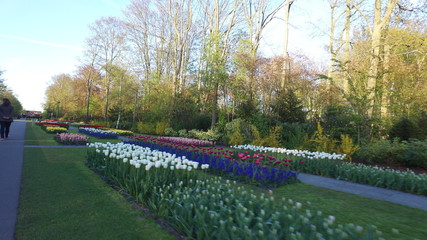 Printed roller blinds Tulip Keukenhof in holland with al lot of tulps