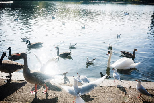 Hyde Park birds standing near lake (London, UK)