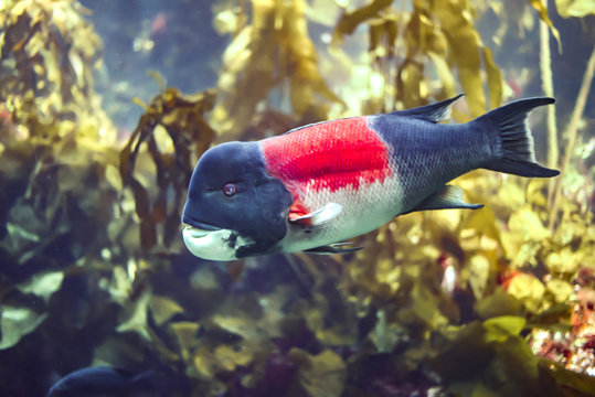 Born female, California Sheephead fish (Semicossyphus pulcher) transform to male at age 7-8.They live from Monterey Bay to Gulf of California, Mexico.