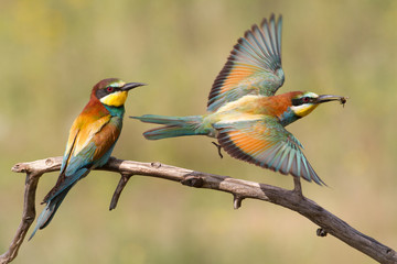 One bee-eater sits on a branch, the second hunts for prey Wall mural