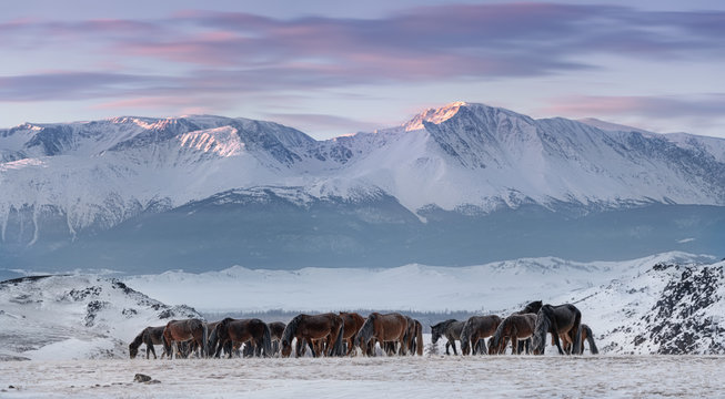 Herd Of Free-Living Horses With Hoarfrost Tails And Manes Peacefully Grazes Against The Snow-White North-Chuya Ridge.Steed On Free Pasture, Winter Freezing Day.Free Grazing Hoss. Life in Siberia,Altai
