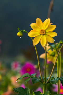 Yellow colored Dahlia coccinea with morning dew on petals