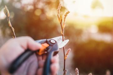 Farmer hand prunes and cuts branches of a tree in the garden with pruning shears or secateurs in springtime. Man pruning tree with clippers. Spring cut tree close up.