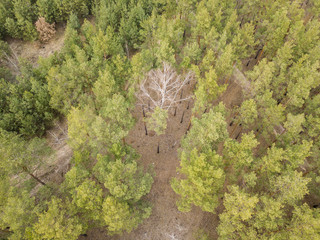 Fototapeta Coniferous pine forest in early spring. Aerial drone view.