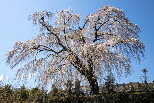 お寺の枝垂れ桜