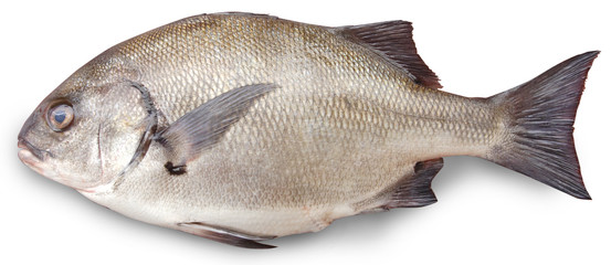 Closeup of a silver Anisotremus scapularis fish with white background