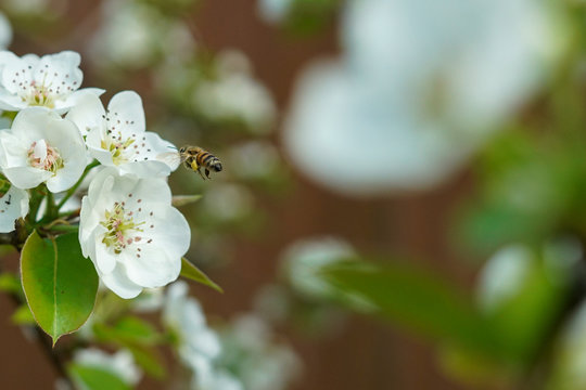 Honey bee flying among pear tree blossoms during spring season