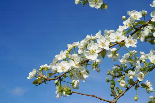 Pear tree branch with blossoms against clear blue sky