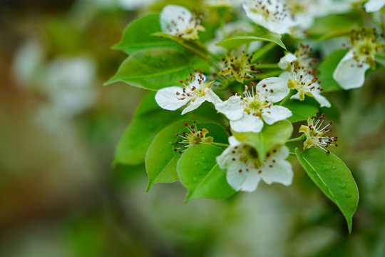 Pear tree blossoms with green leaves