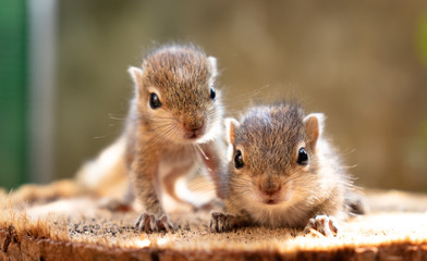 Tuinposter Eekhoorn Baby squirrels looking out for their mother