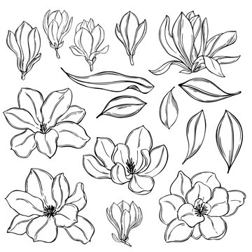 Hand drawn magnolia flowers on  white background. Vector sketch  illustration.