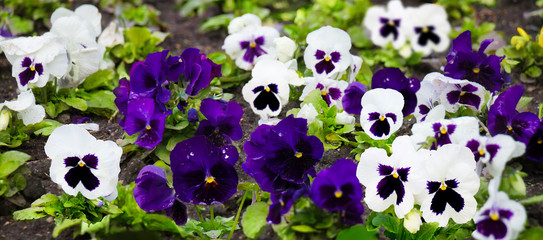 Photo sur Toile Pansies Beautiful white and purple pansy flowers