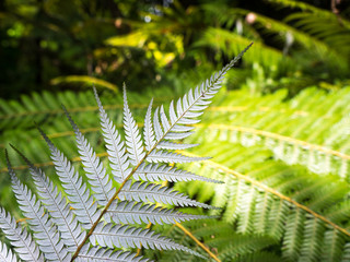 Silver fern, the symbol for New Zealand.