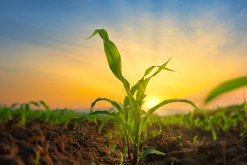 Maize seedling in the agricultural garden with the sunset, Growing Young Green Corn Seedling Fototapete