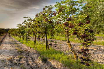 elderberry orchard in central Hungary