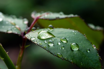 Drops of water on a rose leaf after rain. Selective focus.