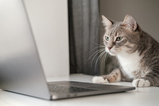 Serious, concentrated cat works remotely on a laptop while sitting at home. Lifestyle.