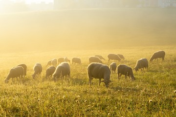 Sheep on the meadow eating grass in the herd during colorful sunrise or sunset. Slovakia