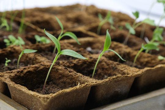 Kleine junge Gemüsepflanzen in der Anzucht