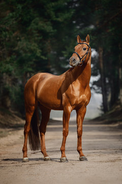 portrait of stunning chestnut showjumping budyonny stallion sport horse in bridle standing on road in forest in daytime