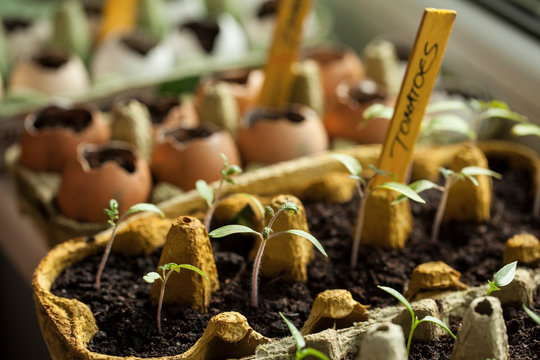 Tomato and bell pepper seeds germinated in the paper egg boxes and eggshells on the window sill at home