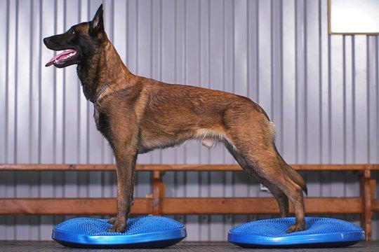 Active Belgian Shepherd dog Malinois posing indoors standing on blue balance discs with bumps