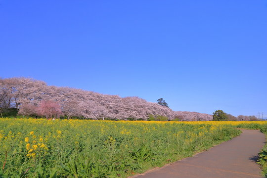 権現堂桜堤の満開の桜と菜の花 ( 埼玉県 幸手市 )
