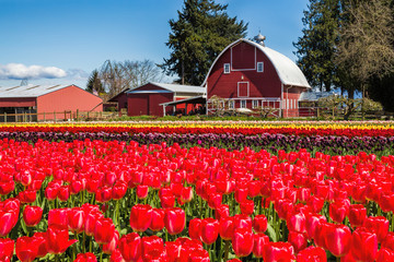 Foto auf Acrylglas Rot Field of tulips with a red barn in the background