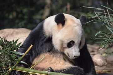 Wall Mural - Photograph of Panda Bear in Bifengxia nature reserve, Sichuan Province China. Protected Species, Cute Young Male Fluffy Panda enjoying nature. Chinese Wildlife